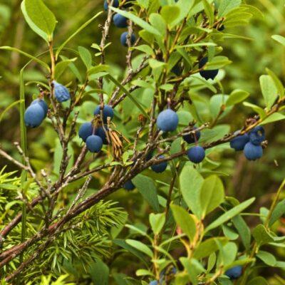 Jelly Bean Blueberry Garden Plant