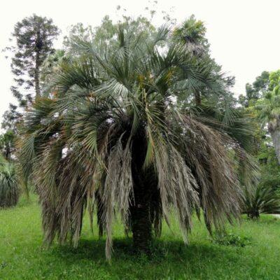 Jelly Palm Tree Garden Plant