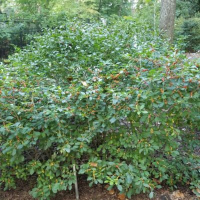 Jim Dandy Holly Garden Plant