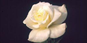 John F. Kennedy Rose Garden Plant
