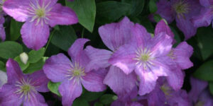Jolly Good Clematis Garden Plant