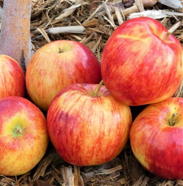 Jonagold Apple Tree Garden Plant
