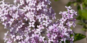 Josee Lilac Garden Plant