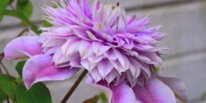 Josephine Clematis Garden Plant