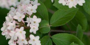Judd Viburnum Garden Plant