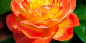 Judy Garland Floribunda Rose Garden Plant