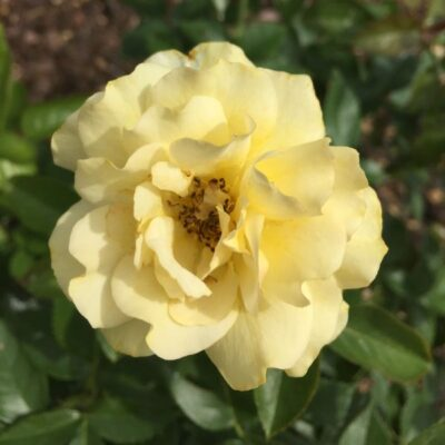Julia Child Rose Garden Plant
