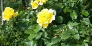 Julia Child Rose Tree Garden Plant