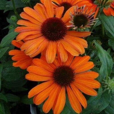 Julia Coneflower Garden Plant