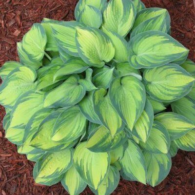 June Hosta Garden Plant