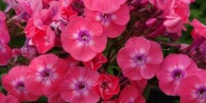 Junior Dance Phlox Garden Plant