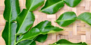 Kaffir Lime Garden Plant