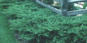 Kallays Compact Juniper Garden Plant