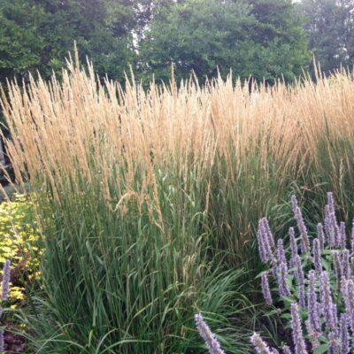 Karl Foerster Feather Reed Grass Garden Plant