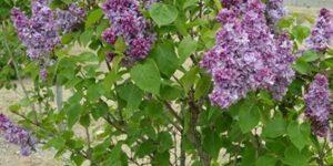 Katherine Havemeyer Lilac Garden Plant
