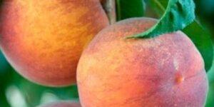 Kaweah Peach Tree Garden Plant