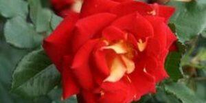 Ketchup and Mustard Floribunda Rose Garden Plant
