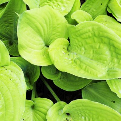 Key West Hosta Garden Plant