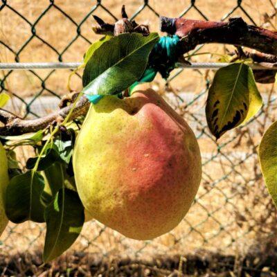 Kieffer Pear Garden Plant