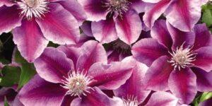 Kilian Donahue Clematis Garden Plant