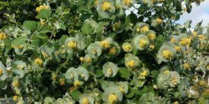 Kintzley's Ghost Honeysuckle Garden Plant