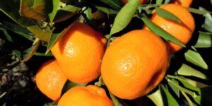 Kishu Mandarin Garden Plant