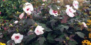 Kopper King Hibiscus Garden Plant