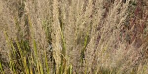 Korean Feather Reed Grass Garden Plant