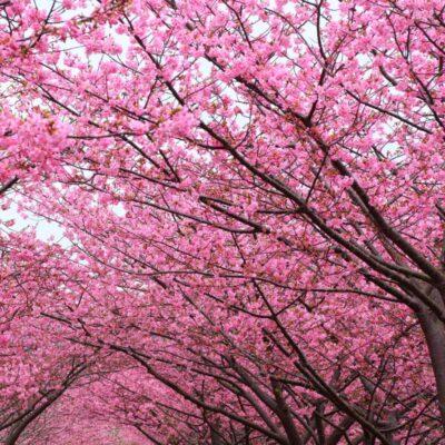 Kwanzan Flowering Cherry Garden Plant
