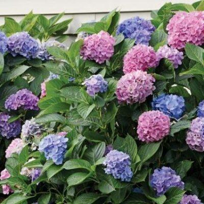 LA Dreamin Hydrangea Garden Plant