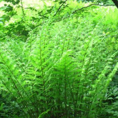 Lady Fern Garden Plant