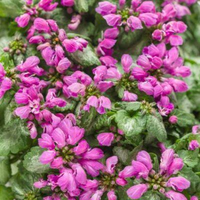 Lamium Purple Chablis Garden Plant