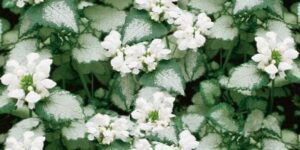 Lamium White Nancy Garden Plant