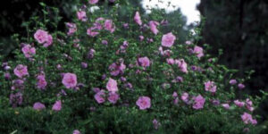 Lavender Chiffon Rose of Sharon Garden Plant