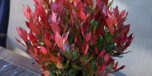 Leafscape Little Flames Leucothoe Garden Plant