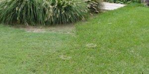 Legacy Buffalo Grass Plugs Garden Plant