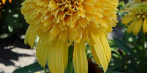 Lemon Drop Coneflower Garden Plant