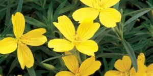 Lemon Drop Evening Primrose Garden Plant