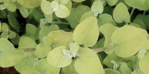 Lemon Licorice Garden Plant