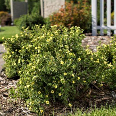Lemon Meringue Potentilla Garden Plant