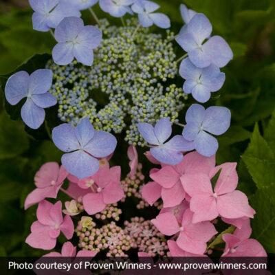 Let's Dance Starlight Hydrangea Garden Plant