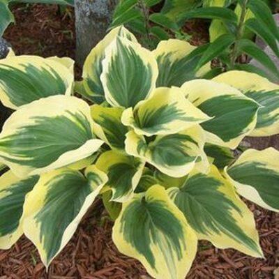 Liberty Hosta Garden Plant