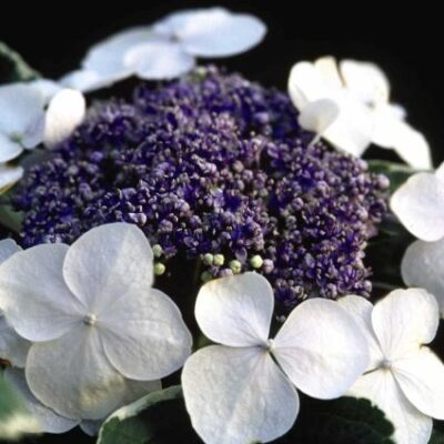 Light-O-Day Hydrangea Garden Plant
