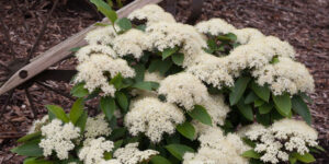 Lil Ditty Witherod Viburnum Garden Plant