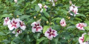 Lil' Kim Rose of Sharon Garden Plant
