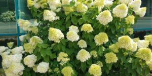 Limelight Hydrangea Garden Plant