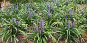 Liriope Big Blue Garden Plant