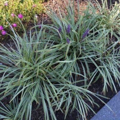 Liriope Silver Dragon Garden Plant