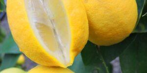 Lisbon Lemon Garden Plant