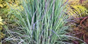 Little Bluestem Grass Garden Plant
